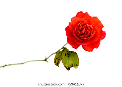 Red Rose Transparent Background Images Stock Photos Vectors