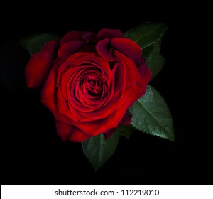 Red Rose isolated on black background