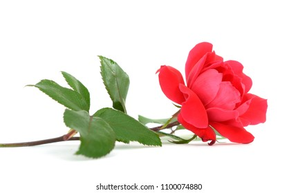 a red rose isolated on white table