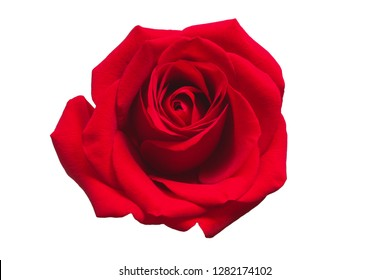 Red rose isolated on white background. Valentines Day concept
