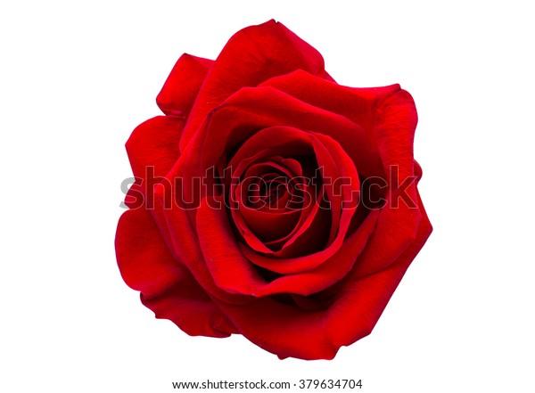 красная роза изолирована на белом фоне