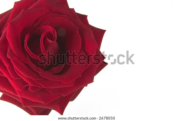 red rose isolated one a white background