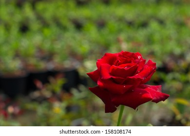 A red rose with its leaves