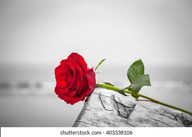 Red rose lying on broken tree on the beach. Concept of romantic love, romance, but may also symbolize a loss, melancholy, memory of the past etc.  Color against black and white