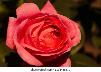 Red rose macro, love symbol