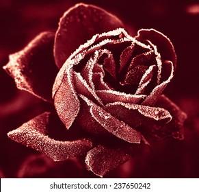 Red Rose marsala color under hoar-frost