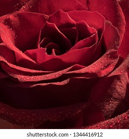red rose with morning dew ....