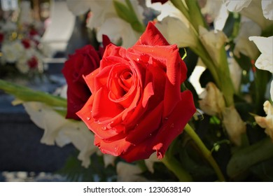red rose with morning dew - flower