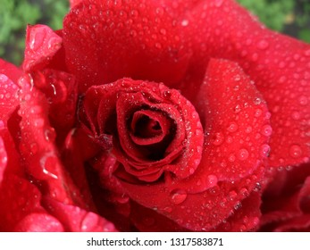 red rose in the morning dew, summer morning