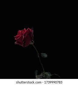 Red rose on a black background with clipping path.