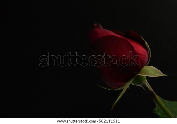 A Red Rose on Black Background