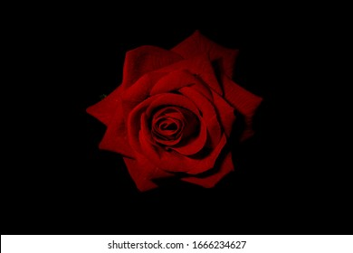 Red rose on black field