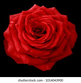 Red Rose  on the black isolated background with clipping path. Closeup.  No shadows.  Nature.