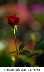 Red rose on a colorful background