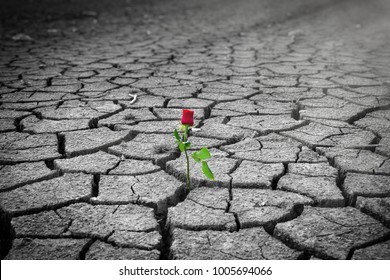 red rose on a dried earth