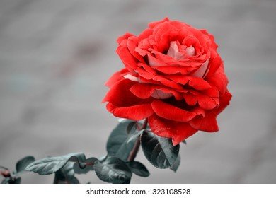 Red rose on grey background
