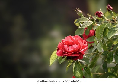 Red rose on the open air