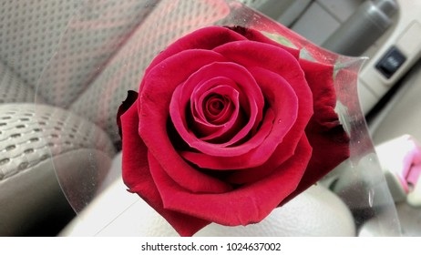 A red rose on Valentine's day