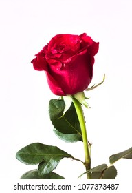 Red rose on a white background with some water droplets and part of stalk