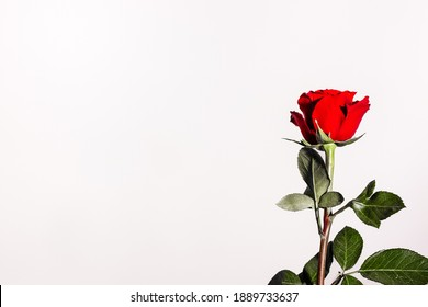 red rose on a white light background