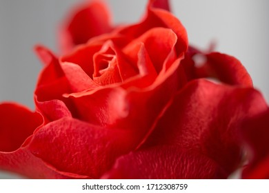 red rose petals close-up, macro. Vintage style image