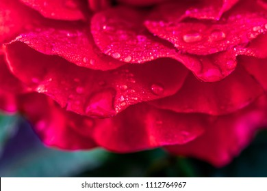 Red rose petals, covered with dew, in  morning in  garden