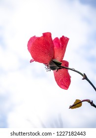 red rose petals with morning dew against winter sky