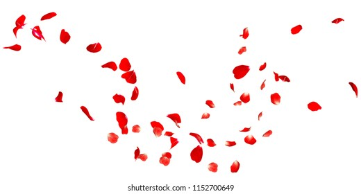 Red Rose Petals Stock Footage In White Background