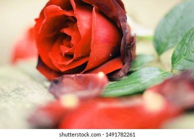Red rose petals with water droplets. Closeup with shallow depth