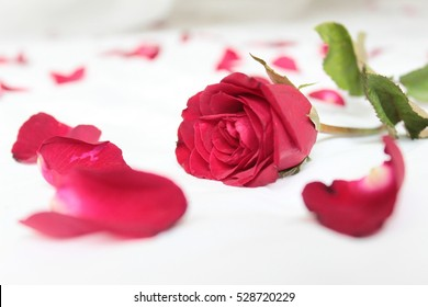 Red rose Place on a clean white bed. And a red rose petals strewn around.