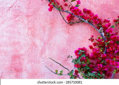 red rose plant against pink wall background