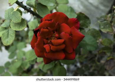 Red rose in selective focus.