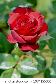 Red rose. Single beautiful rose.
