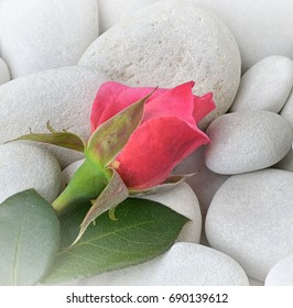 red Rose with stones