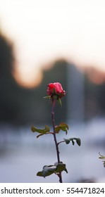 red rose at sunset
