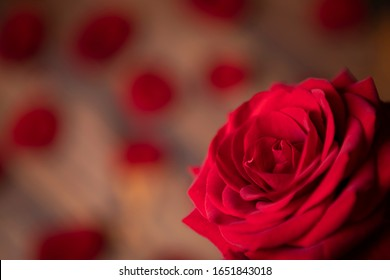Red rose surrounded by fresh petals on the wooden background