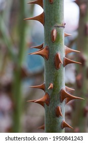red rose thorns on a green stem