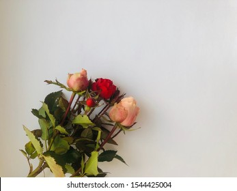 red rose with thorns. Rose stem or spine with thorns isolated on white background. one rose branch with thorns close up