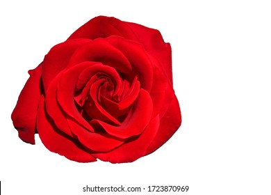 Red Rose - Top view fresh single bloom flower isolated white background with clipping path - for valentine love concept  , Floral Object and beautiful detail