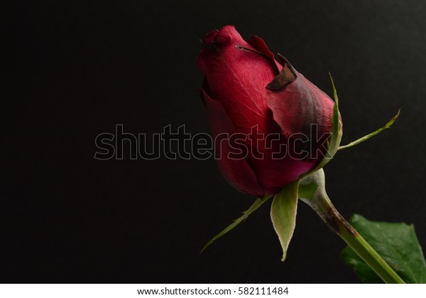 A Red Rose for Valentine