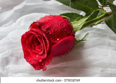 Red rose with water droplets - white background