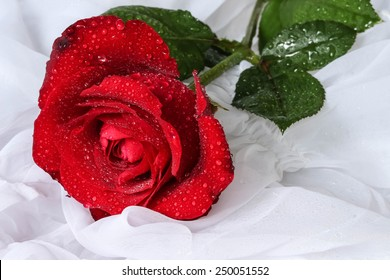 Red rose with water drops - white background