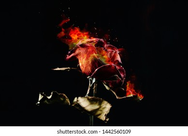 The red rose withered, burning
