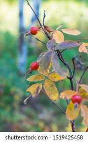 Red rosehip berries on branch with thorns in the autumn in the forest for health