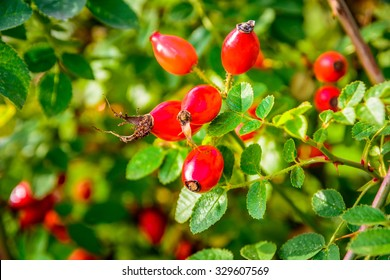 Red rosehips closeup in autumn sun
