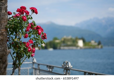 Red roses against blurred background of Italian lake Lago Maggiore