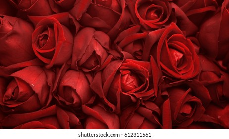 Red roses background, close up of roses