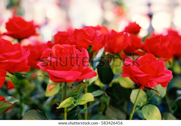 Red roses blooming in the garden for vintage background or texture , Valentine's Day.