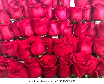red roses buds. roses close up. many red heads roses