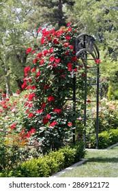 Red roses climb a rose arbor at McKinley park in Sacramento.
